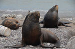 Seelöwen warten auf Futter in Iquique
