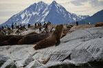 See-Löwen Kolonie
