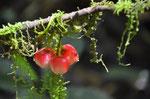 Urwaldfrucht
