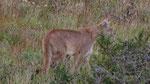 Besuch vom Puma