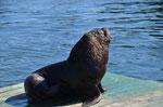 Seelöwe wartet auf Fischabfälle vom Markt