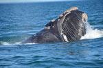 Wale beobachten in Valdés