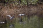 über 600 verschiedene Vogelarten gibt es im Pantanal
