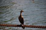 Kormoran wartet auf Abfälle vom Fischmarkt in Valdivia
