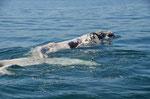 ein weißer Wal ist sehr selten