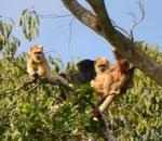 Affen ziemlich weit weg, leider etwas unscharf