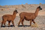 Unsere beiden Haustiere in Antofagasta de la Sierra