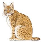 Lynx europeen - Apprendre à dessiner les chats (Fleurus)