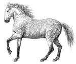 Cheval lusitanien - Apprendre à dessiner les chevaux (Fleurus)