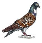 Pigeon cauchois - L'inventaire des animaux domestiques (Nathan)