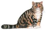 Chat exotic shorthair - Apprendre à dessiner les chats (Fleurus)