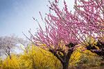 福島 花見山公園 2013.04.17
