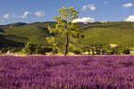 Lavendelfeld in der Hochprovence