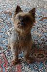 Das ist Sally, Yorkshire Terrier Golden Dust, 9 Jahre alt