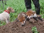 Erle arbeitet zwei Füchse aus Naturbau