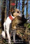 Titelbild 02/2008 Parson Russell Terrier Club