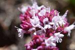 Blüte, Oregano, Sommer, Garten, garden, Selbstversorung, selfsuffiency, krautfotografie, krautblog