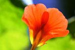 Kapuzinerkresse, Blüte, urban gardening, urban garden, Balkongarten, Dornbirn, Vorarlberg, krautblog, krautfotografie, Naturfotografie, Makrofotografie, Selbstversorgung, Garten, Kräuter
