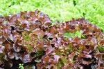Salat, Lollo Rosso, Selbstversorgung, Garten, garden, selfsuffiency, krautfotografie, krautblog