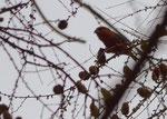 Männchen - Zollern - Albkreis, Januar 2014