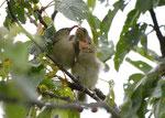 Altvogel füttert zwei Junge - Schwäbische Alb, Juni 2015