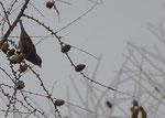Weibchen - Zollern - Albkreis, Januar 2014
