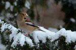Weibchen - Albtrauf, Januar 2013