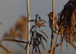 Weibchen - Federsee, Oktober 2012