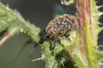 Kratzdistelrüssler (Larinus turbinatus)