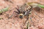 Brauner Sandlaufkäfer (Cicindela hybrida)