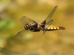 Blattbauch Libelle