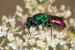 Goldwespe Chrysis marginata
