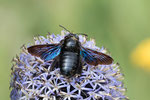 Blaue Holzbiene