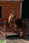 I-Wurf - Woche 7 - Bridie mit ihrer kleinen Bande