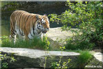 Sibirische Tigerin MARY