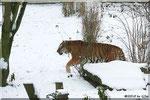 Sibirischer Tiger THARO