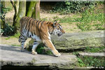 Sibirische Tigerin MARY