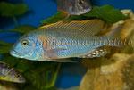 Tyrannochromis nigriventer (2)_3313 x 2219 px