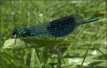 Calopterix splendens_2222 x 1420 px [RP]
