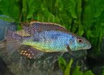 Tyrannochromis nigriventer _3176 x 2291 px