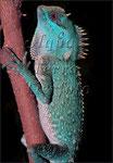 Acanthosaura sp.