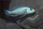 Dimidiochromis strigatus_3229 x 2165 px