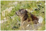 2_Marmotte ( Vanoise )