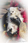2a _ Zaza et un Chihuahua