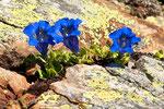 Gentianes des Alpes  ( Gentiana alpina )