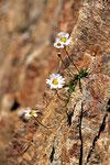 Marguerites des Alpes  ( Leucanthemum alpina )