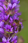 2_Pollinisateur