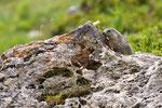4_Marmotte  ( Vanoise )