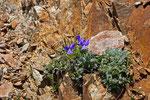 Pensées des Alpes  ( Viola calcarata )