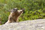 5_Marmotte ( Vanoise )